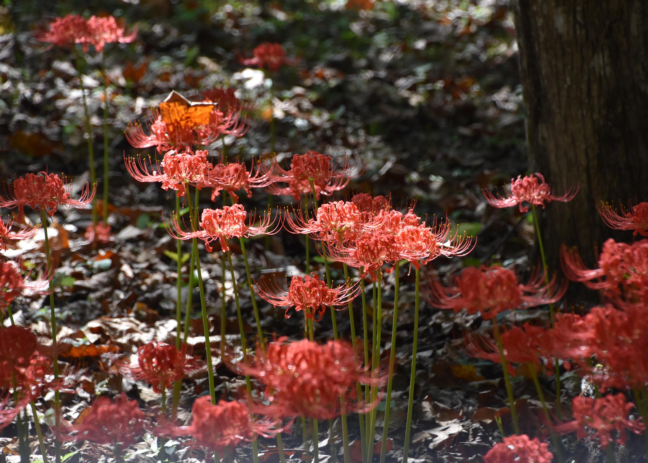 In the late summer and through the fall, all the varieties of Lycoris produce tall flower stalks without any leaves. (Photo by MSU Extension Service/Gary Bachman)
