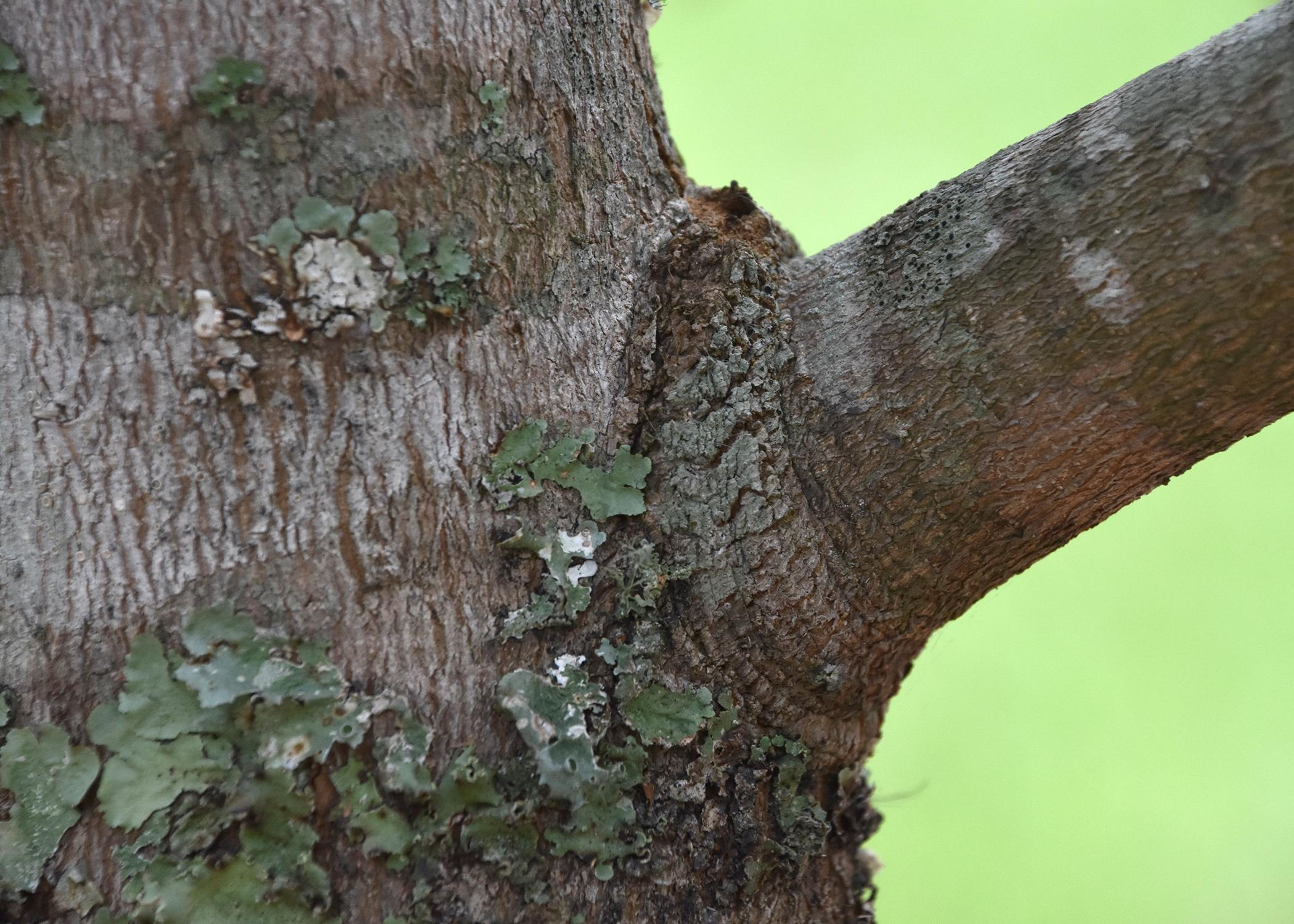 Trim branches at the branch collar, which is a slightly raised area around the point where the branch is connected to the tree trunk. The tree will heal better if the branch is removed at this point rather than flush with the trunk (Photo by MSU Extension Service/Gary Bachman)