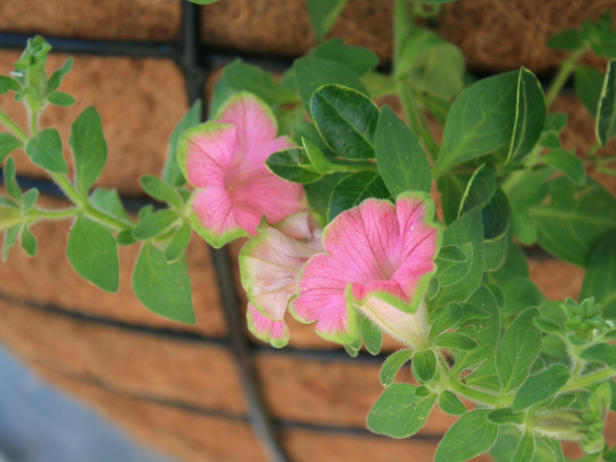 Supertunias are big, bold and free-flowering plants ideal for summer blooms. They come in a variety of colors, including this Picasso in Pink Supertunia. (Photo by MSU Extension/Gary Bachman)
