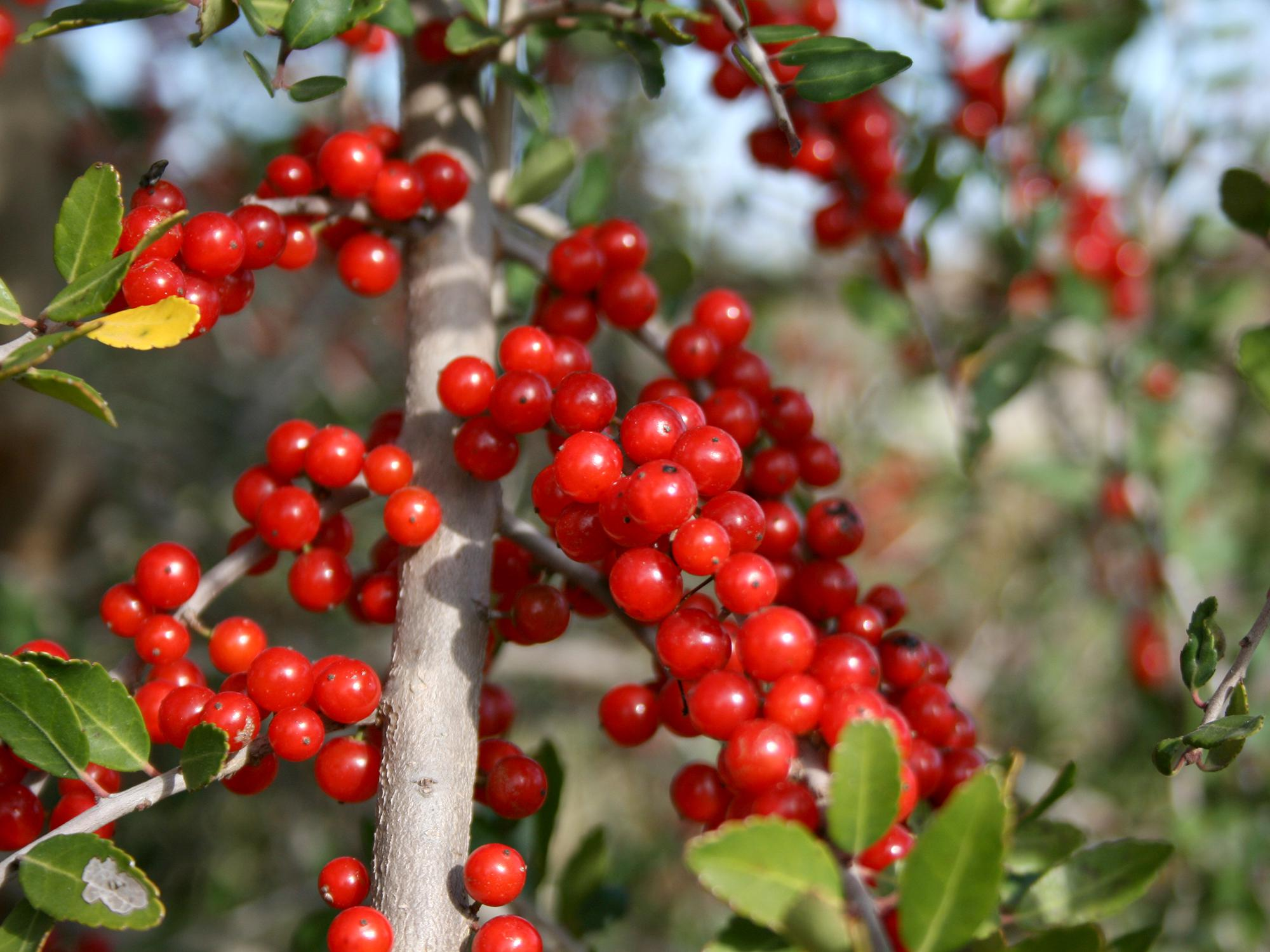 The Mississippi native yaupon holly can be seen popping out of woodland edges everywhere. Its distinctive berries have a translucent quality that imparts a gem-like appearance. (Photo by MSU Extension/Gary Bachman)