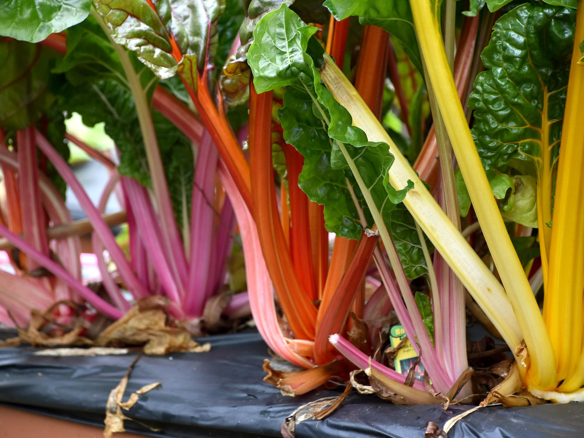 Bright Lights Swiss chard is a cool-season plant that does double duty as a beautiful landscape attraction that is edible and tasty. (Photo by MSU Extension/Gary Bachman)