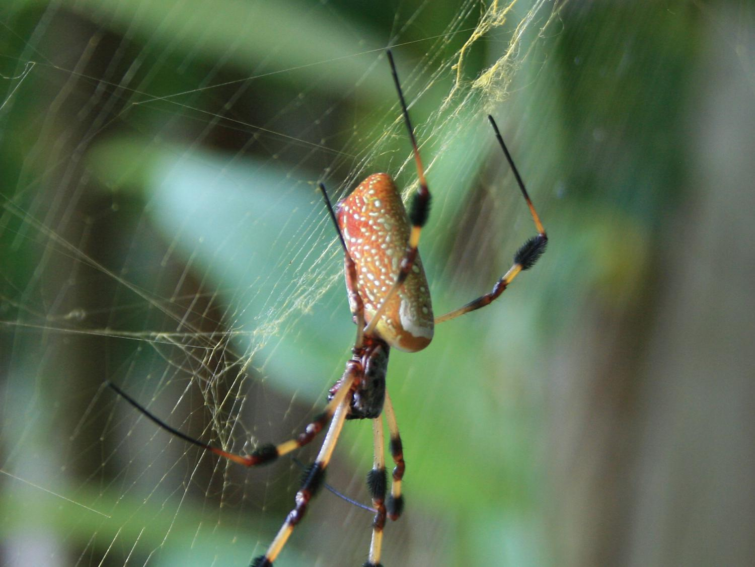 The Golden Silk Orb Weaver is found all along the Gulf Coast, as well as Central and South America. (Photo by MSU Extension/Gary Bachman)