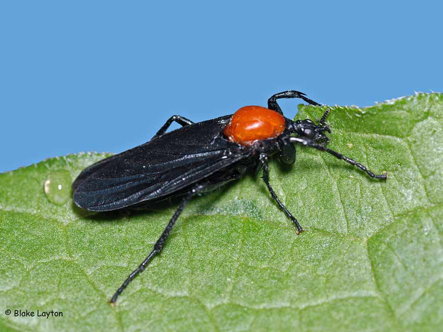 An orange and black fly-like insect.