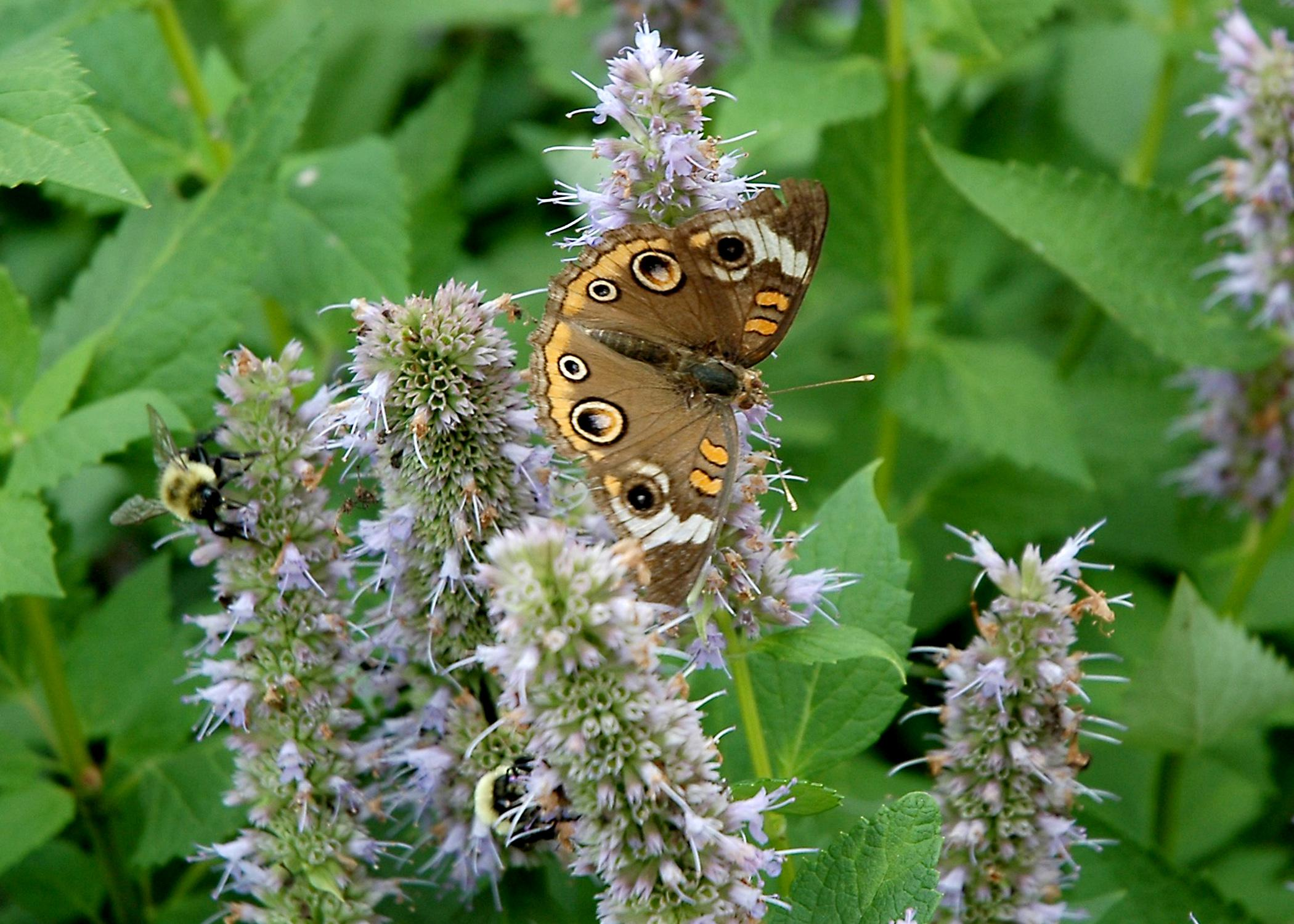 Butterflies, such as this buckeye butterfly, and other plants, animals and insects will be counted during the Mississippi BioBlitz on Oct. 4, 2014, at the Natchez Trace Parkway Visitor Center near Tupelo. BioBlitz is a 13-hour event that teams scientists, students, teachers and community members to track down and identify as many local species as possible. (MSU Ag Communications/File Photo)