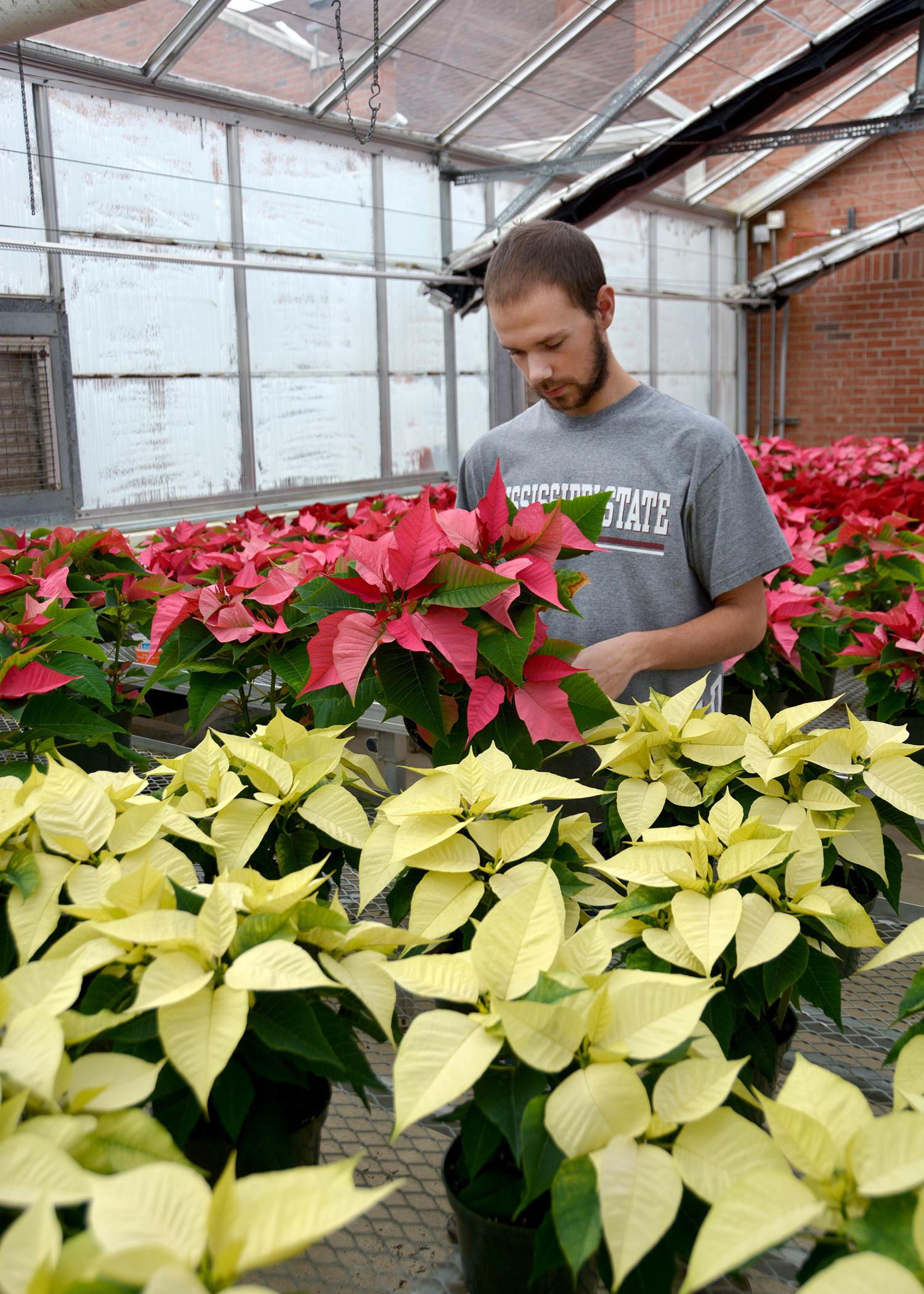 Mississippi State University Horticulture Club President Spencer Waschenbach of Kahoka, Missouri, examines poinsettias in a campus greenhouse on Nov. 25, 2014. The club will be selling poinsettias, Christmas cacti, succulents, living wreaths, mistletoe balls and ready-made table pieces in the annual Christmas Plant Sale from 8 a.m. until 5 p.m. on Dec. 5. (Photo by MSU Ag Communications/Linda Breazeale)