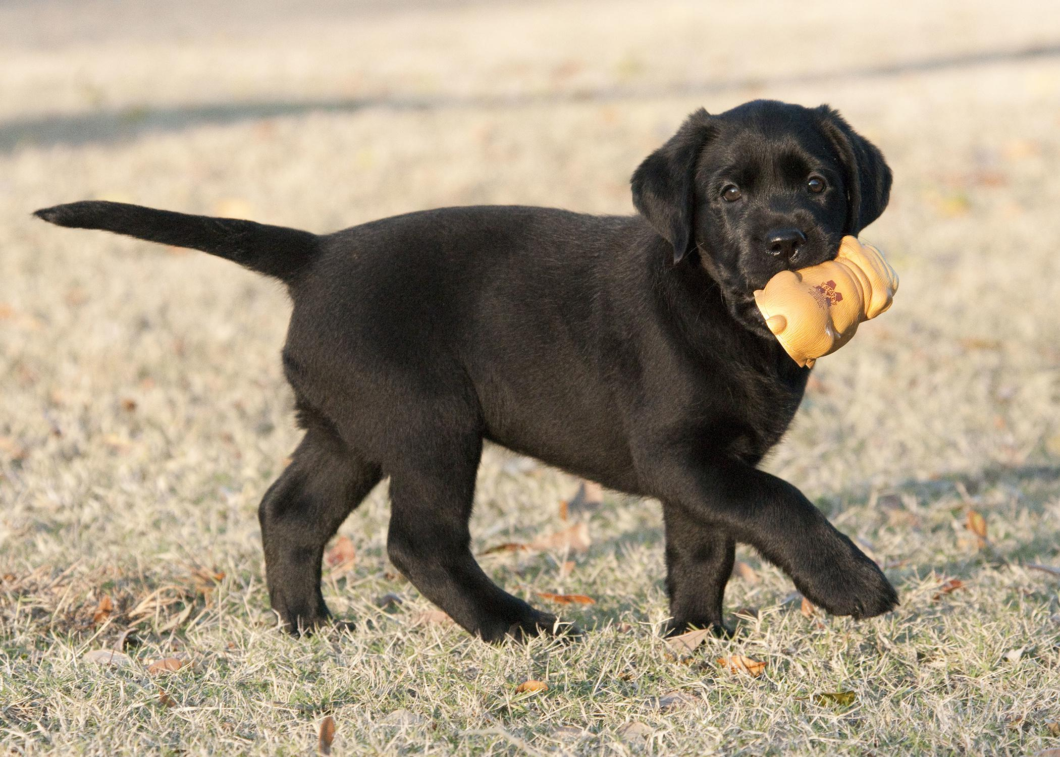 Dogs love to taste and chew on many things, so owners should take extra precautions to protect their pets from poisons, a leading cause of emergency trips to veterinary clinics each year. (File photo by MSU College of Veterinary Medicine/Tom Thompson)
