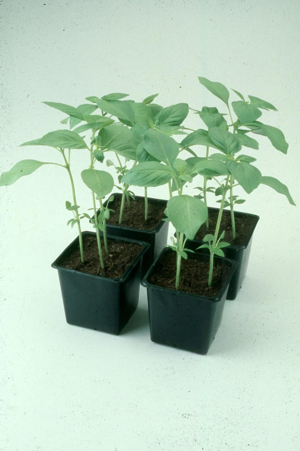 By transplanting certain plants such as this basil, gardens can harvest a crop much sooner than by growing plants from seed.