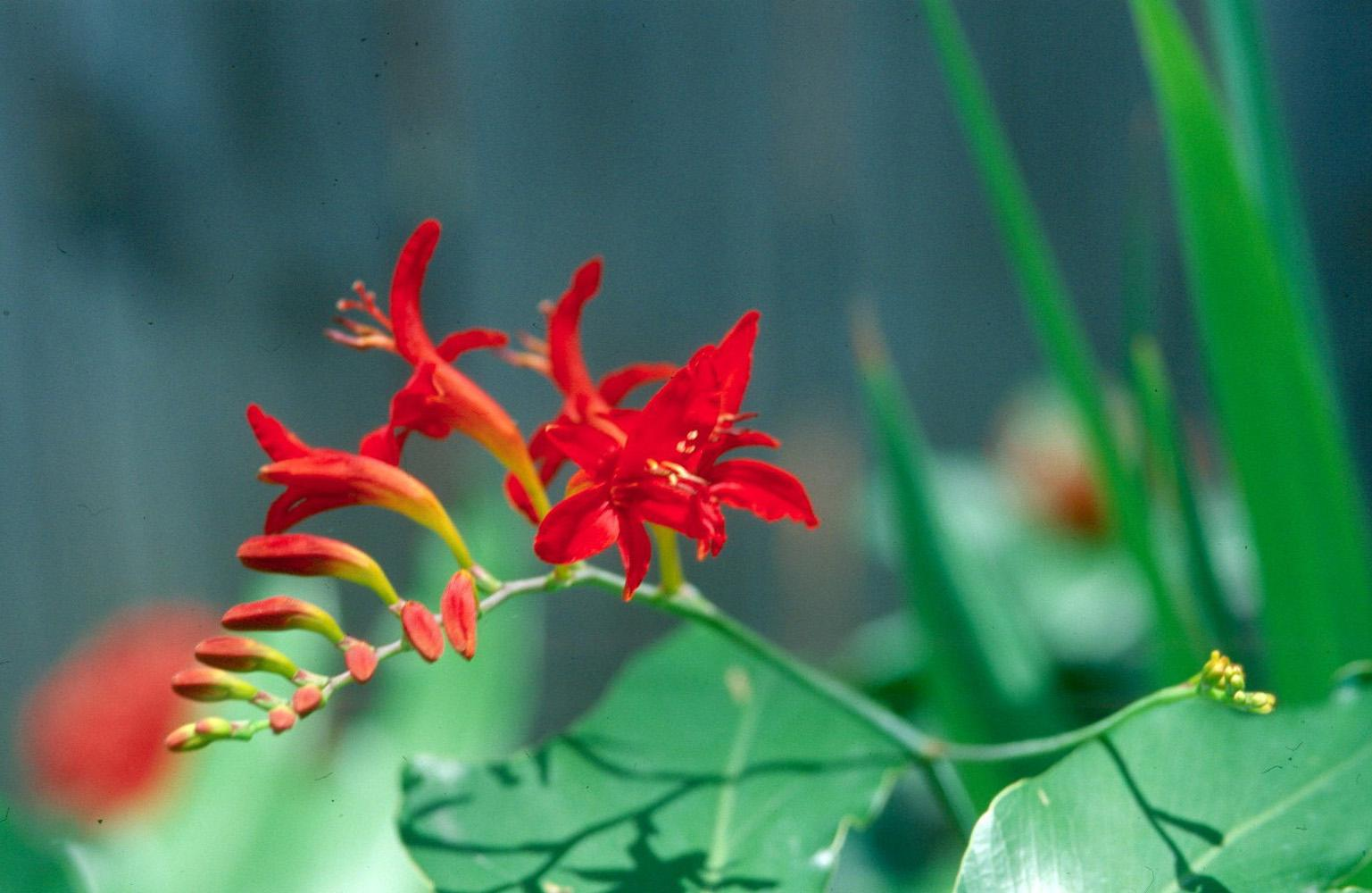 The fiery red Lucifer, a variety of crocosmia, looks exceptional in a tropical garden with bananas and cannas or in a perennial garden with daylilies and salvias.