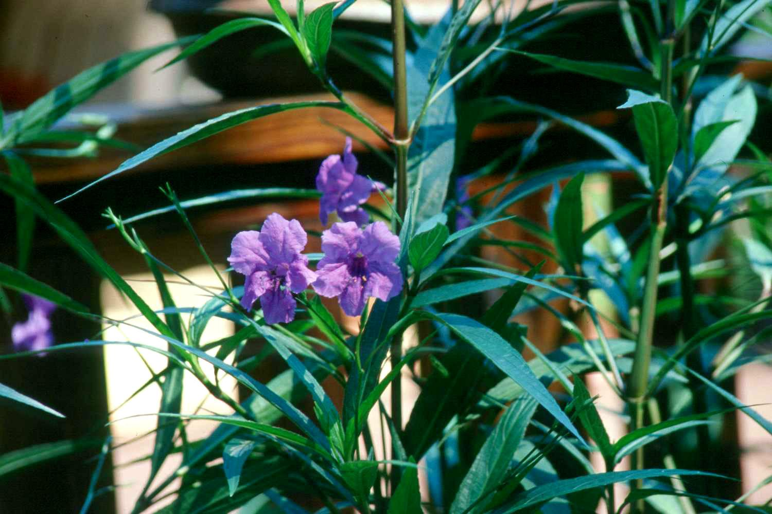Ruellia has bluish-purple flowers that radiate color from the plant. The deep-green foliage with hints of burgundy is attractive and works well in combination plantings.