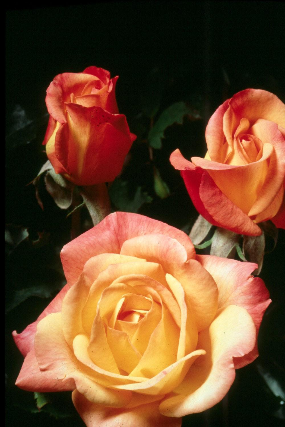 All America Rose Selections winner Rio Samba's reddish-orange and yellow blend offers outstanding beauty for this year's rose gardens.