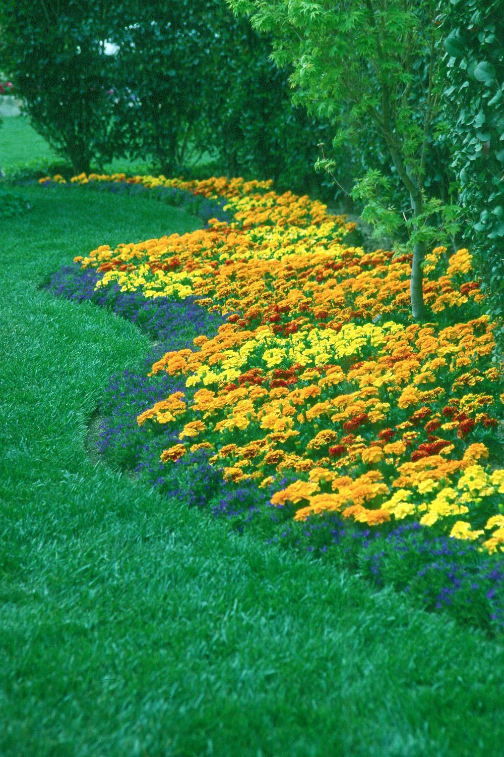 The small-flowered French Marigolds and blue-flowered lobelia create a dazzling landscape display when planted together.
