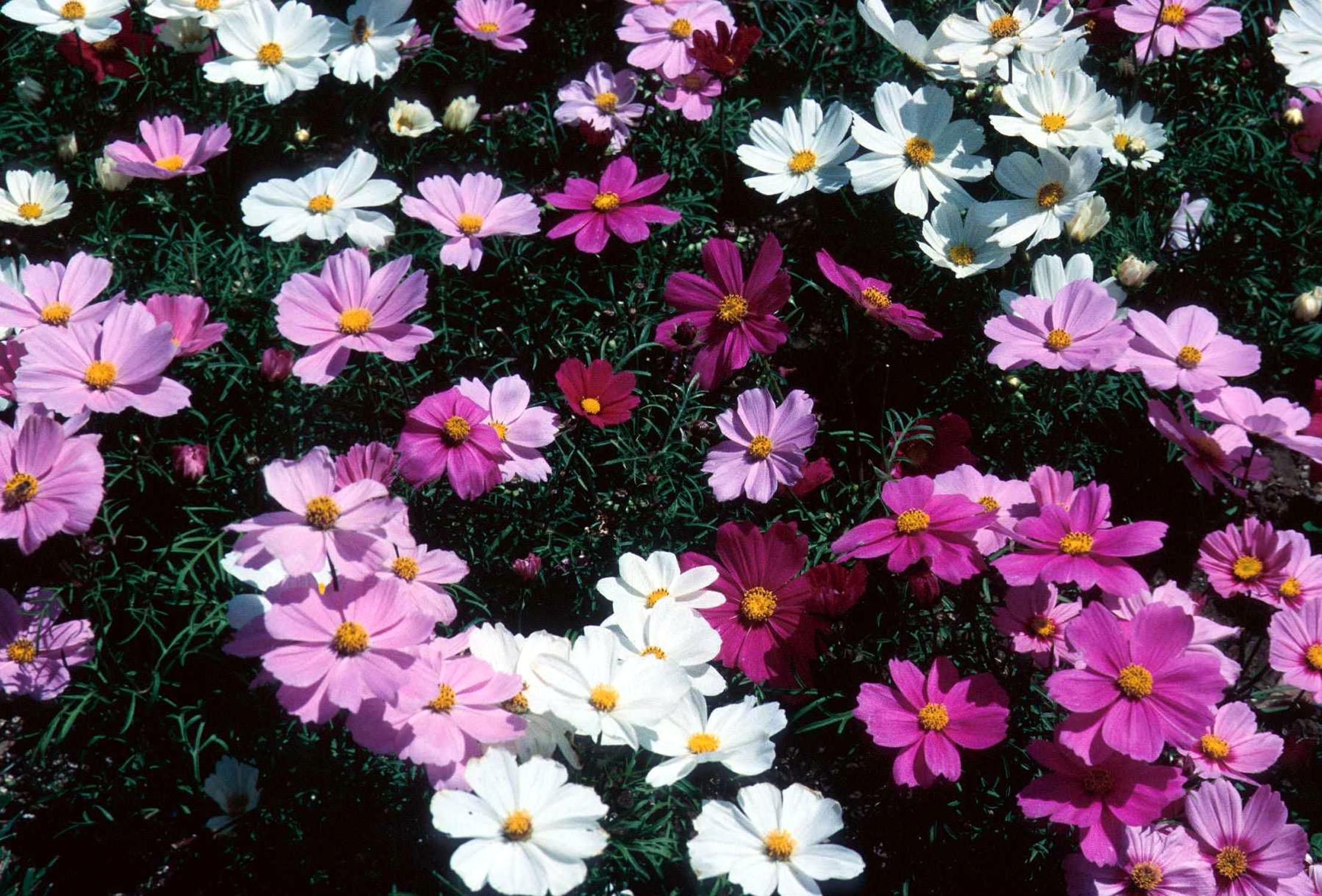 The beautiful, daisy-like flowers and airy fern-like foliage of the cosmos make it an ideal plant for the cottage garden. They are easy to grow from transplants or seeds. Plant now for late summer and fall color.