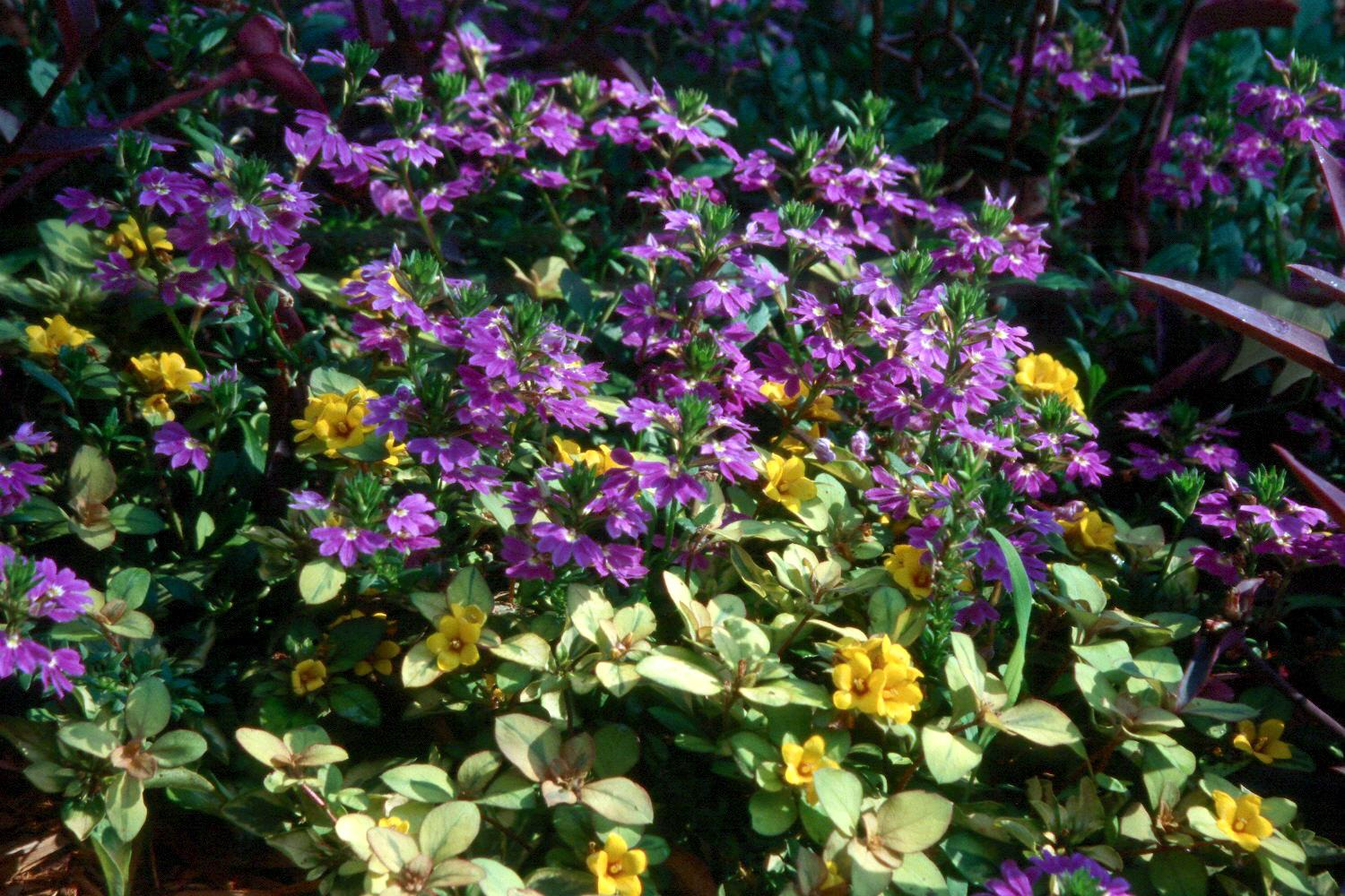 The Outback Sunset lysimachia with its yellow and green variegated foliage and yellow-orange, bell-shaped flowers is a spreading ground cover that combines wonderfully with plants like New Wonder scaevola.