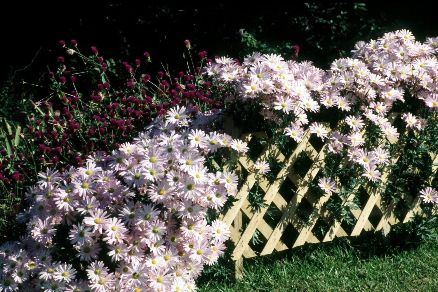 An annual planting of tall, purple gomphrena in the background accentuates this display of large, rose-pink flowers on Clara Curtis, also known as Country Girl.