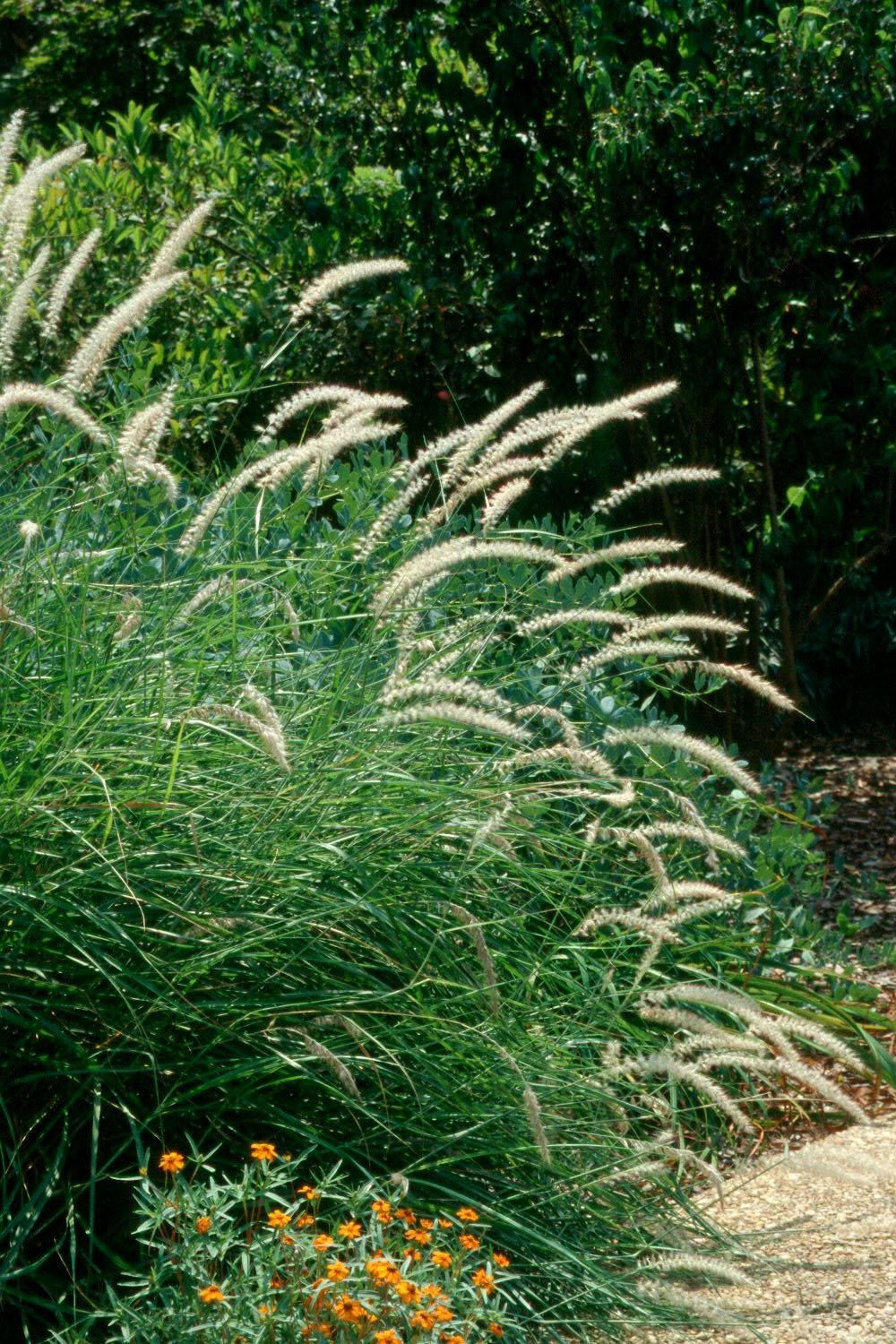The oriental fountain grass is a 4-foot tall grass with pristine white blooms. It offers added excitement in the garden with its plumes that move in the wind. Ornamental fountain grasses add extra value when planted so they are back-lighted from the setting sun or landscape lighting.