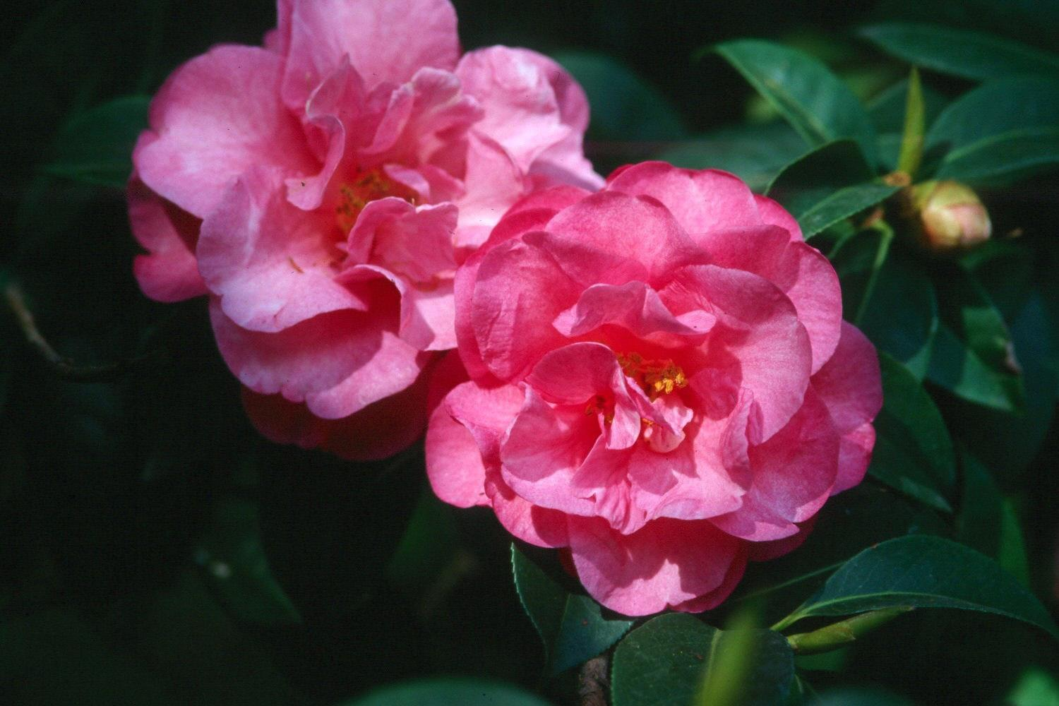 Fall and winter landscapes will be more beautiful if they include this camellia sasanqua, Shishi Gashira, recently named a 2002 Mississippi Medallion award winner for the fall. Their waxy, leather leaves coupled with blooms that are as pretty as roses reveal that these camellias are not only good as shrubs but also for use as foundation plantings.