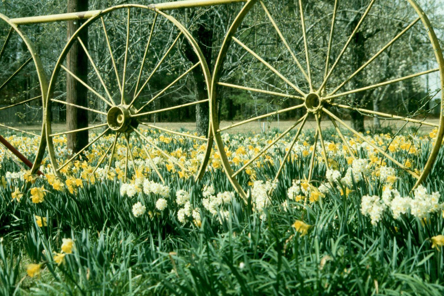 The narcissus is a stalwart garden favorite.