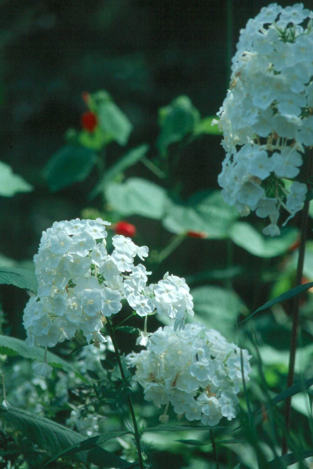 The glistening white flowers of the perennial phlox David offers fragrance as well as beauty for an extended season.