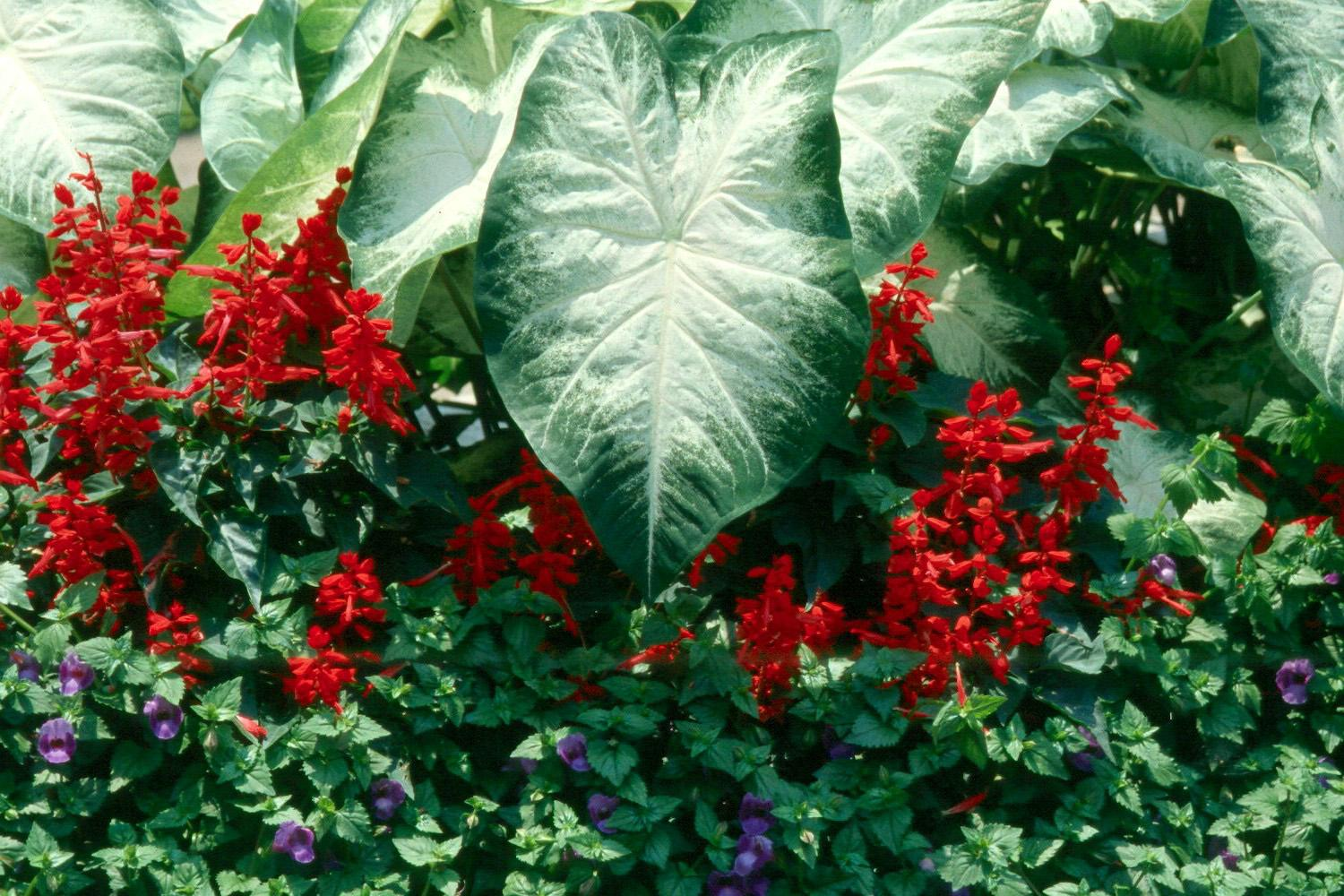 The perfect combination for a patriotic garden are White Christmas caladiums, Vista Red salvia and Summer Wave blue torenia.
