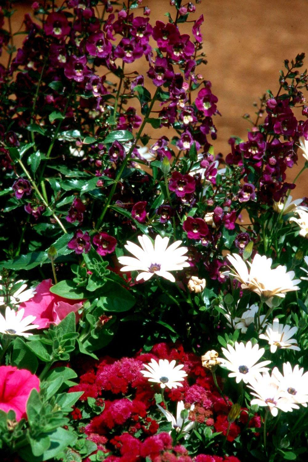 The tall Angel Face angelonia combines wonderfully with other flowers like these purple ageratums and white osteospermum.