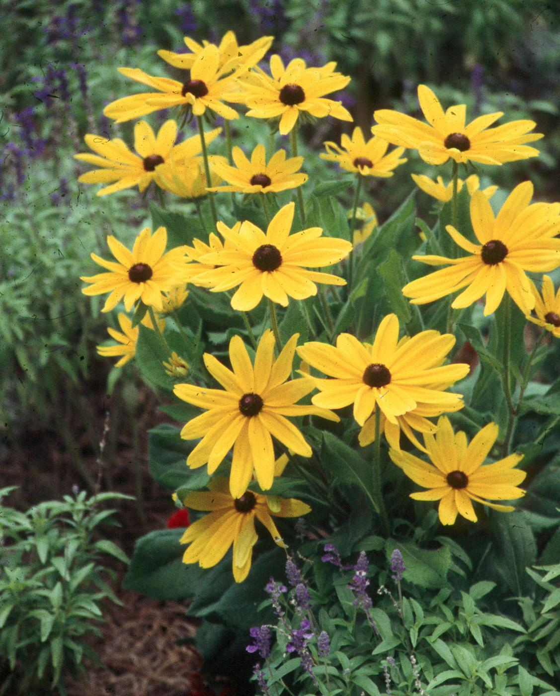 Indian Summer is a gorgeous annual that reaches 42 inches in height and produces its heart out with large, softball-size blooms.