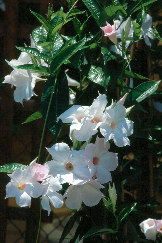 Tropical flowering vines provide color until frost ...