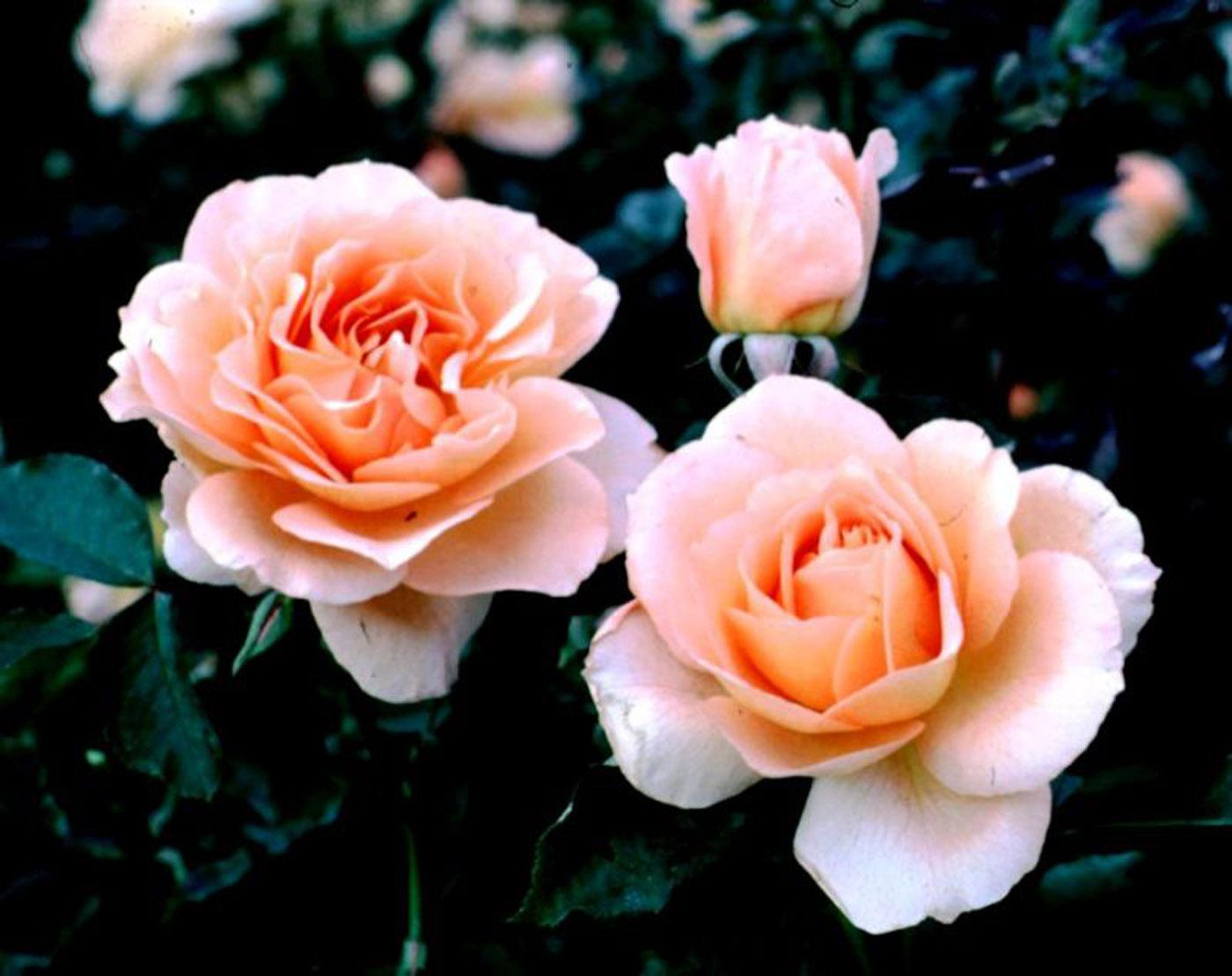 AARS winning roses are all judged on 15 key gardening characteristics including disease resistance, hardiness, color, form, flowering effect, fragrance, vigor and novelty. Winners must perform exceptionally well over a two-year period in numerous test gardens throughout the United States.
