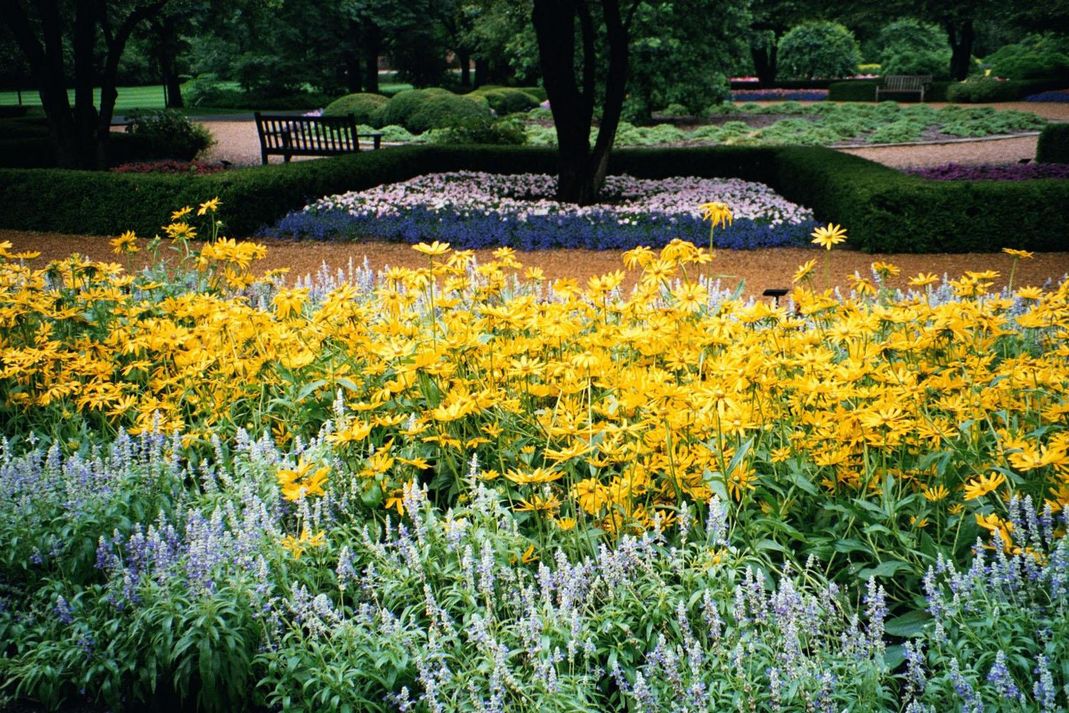 Strata is a frosty gray and blue violet Salvia farinacea that combines well with a host of colors including these yellow Prairie Sun rudbeckias.