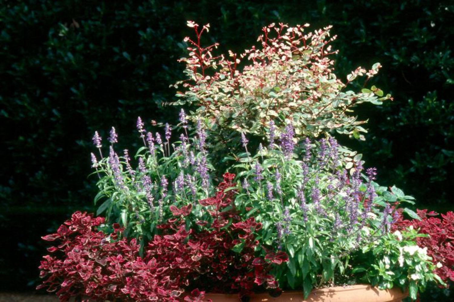 The snow bush is sought after for its colorful foliage and unique habit rather than its bloom. It produces slender, burgundy-colored zigzagging stems with leaves painted in green, cream and pink.