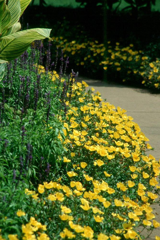 The bright-yellow Yubi portulacas, embraced by the Victoria Blue salvia and Bengal Tiger canna, make this sidewalk a breath-taking pleasure to stroll down.