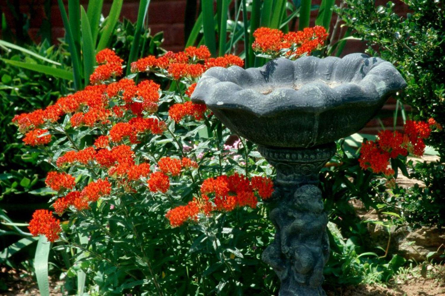 The native butterly weed Ascelpias tuberosa features bright orange flowers that will attract Monarch butterflies and put on a show the whole family will enjoy.
