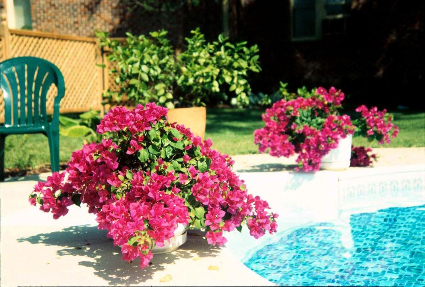 In all but the extreme southern coastal Mississippi, the bougainvillea will have to be treated as an annual or grown in a container for protection during the winter. They bloom easily in containers and can be kept pot-bound for a long time.