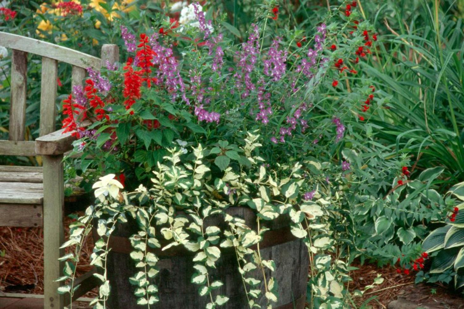 Mojo's Gem and Illumination offer the gardener great creamy-gold and green variegation on a vigorous groundcover or vining plant that will hang gracefully from a basket or cascade over the rim of a mixed container.