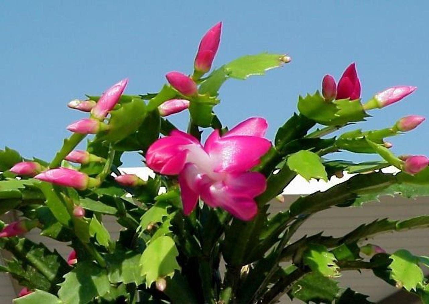 This Christmas cactus is beautiful outside on a warm winter day, but most of the time these dependable holiday plants brighten up special areas inside the home.