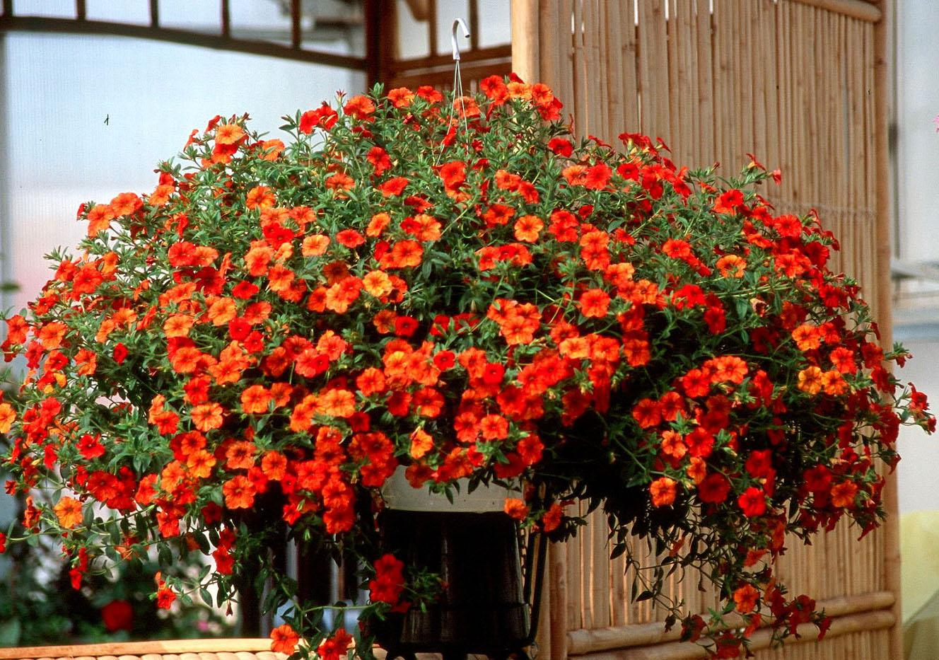 With its blaze of fiery orange-red and yellow, Million Bells Crackling Fire may be the prettiest calibrachoa on the market.