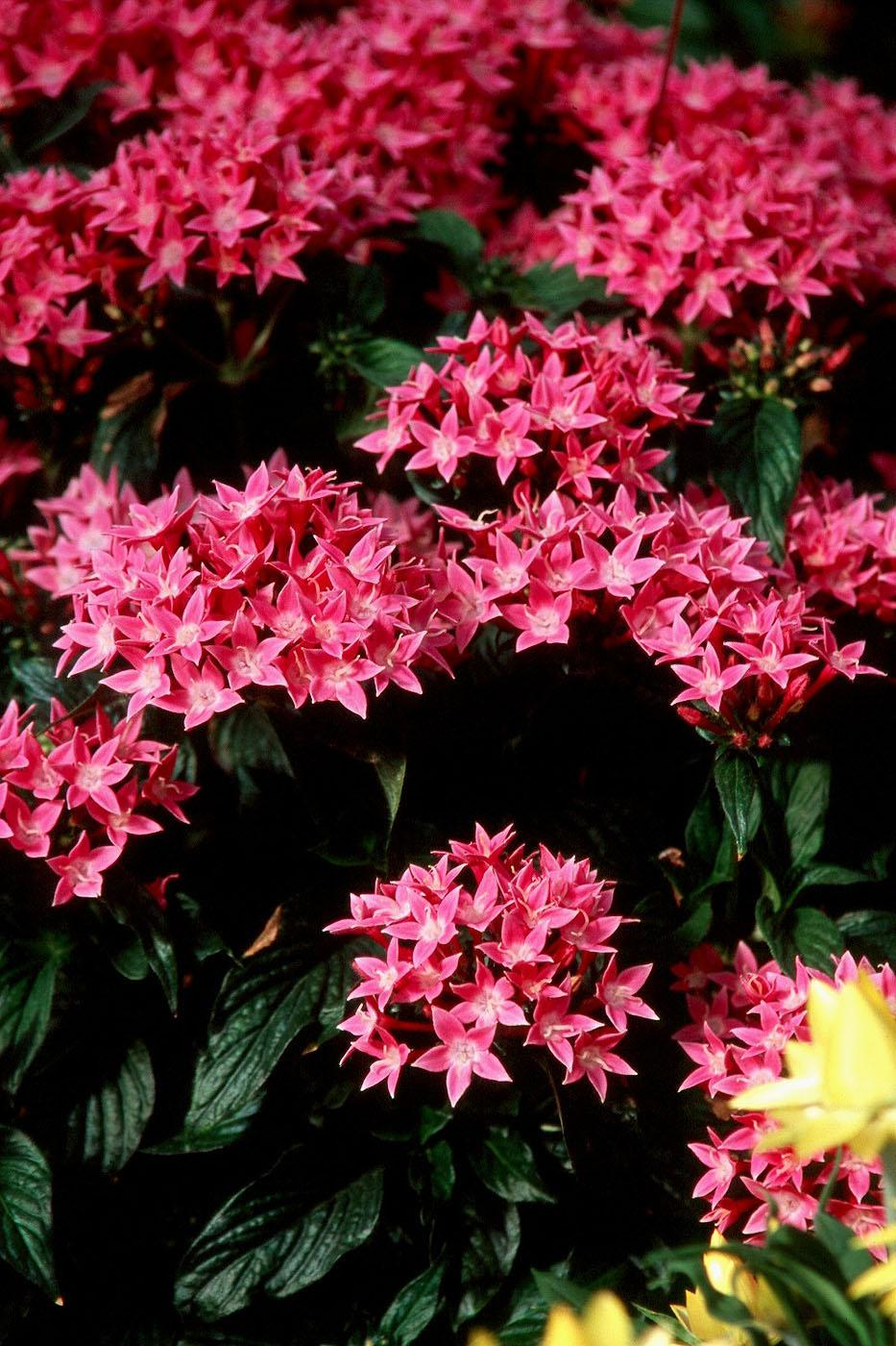 Butterflies, hummingbirds and gardeners alike will be delighted with the many new series of pentas being offered, such as this beautiful Bismarck variety. If these new varieties are not available at local nurseries this year, gardeners can rely on Mississippi Medallion Award-winning Butterfly pentas for a lush, tropical look and tons of butterfly guests.