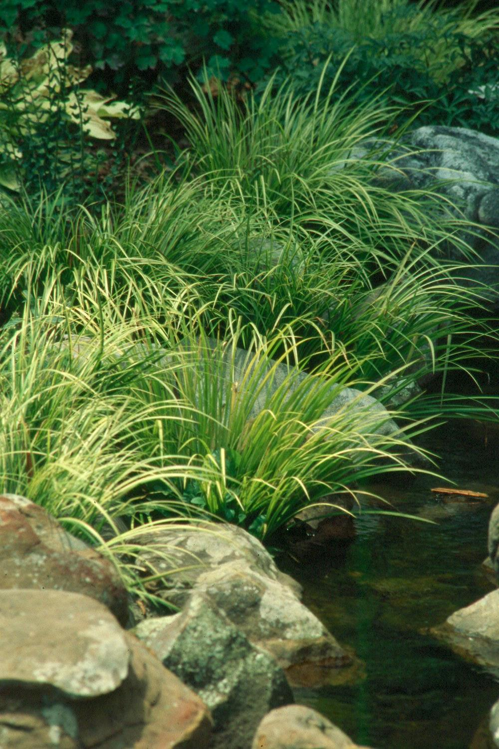 Ogon, a leading variety of Japanese sweet flag grasses, is outstanding with its golden color combined with green variegation.