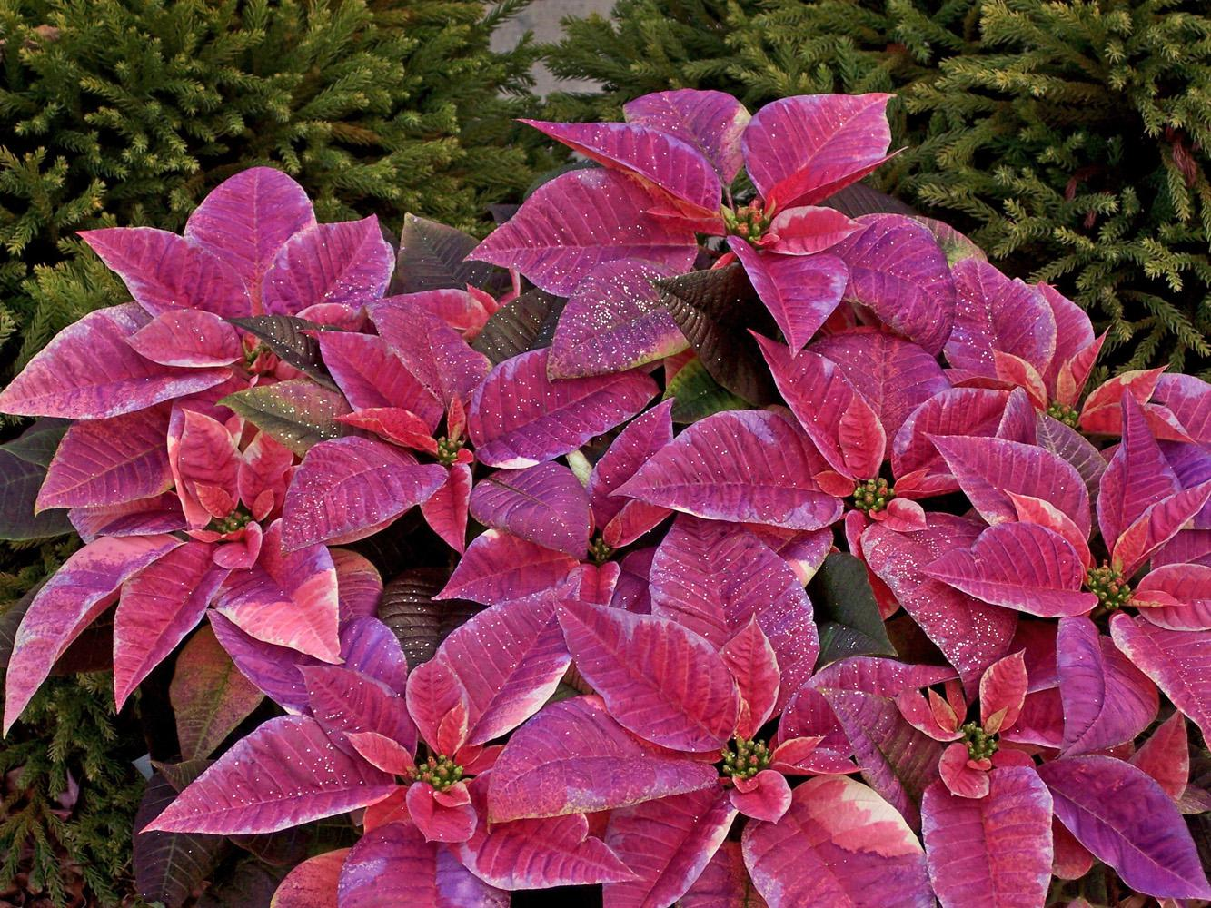 This lilac painted poinsettia can add to your Christmas decorations, then with some extra care, can still look good for Easter. Try it with some pink eggs underneath or surrounding white Easter lilies.