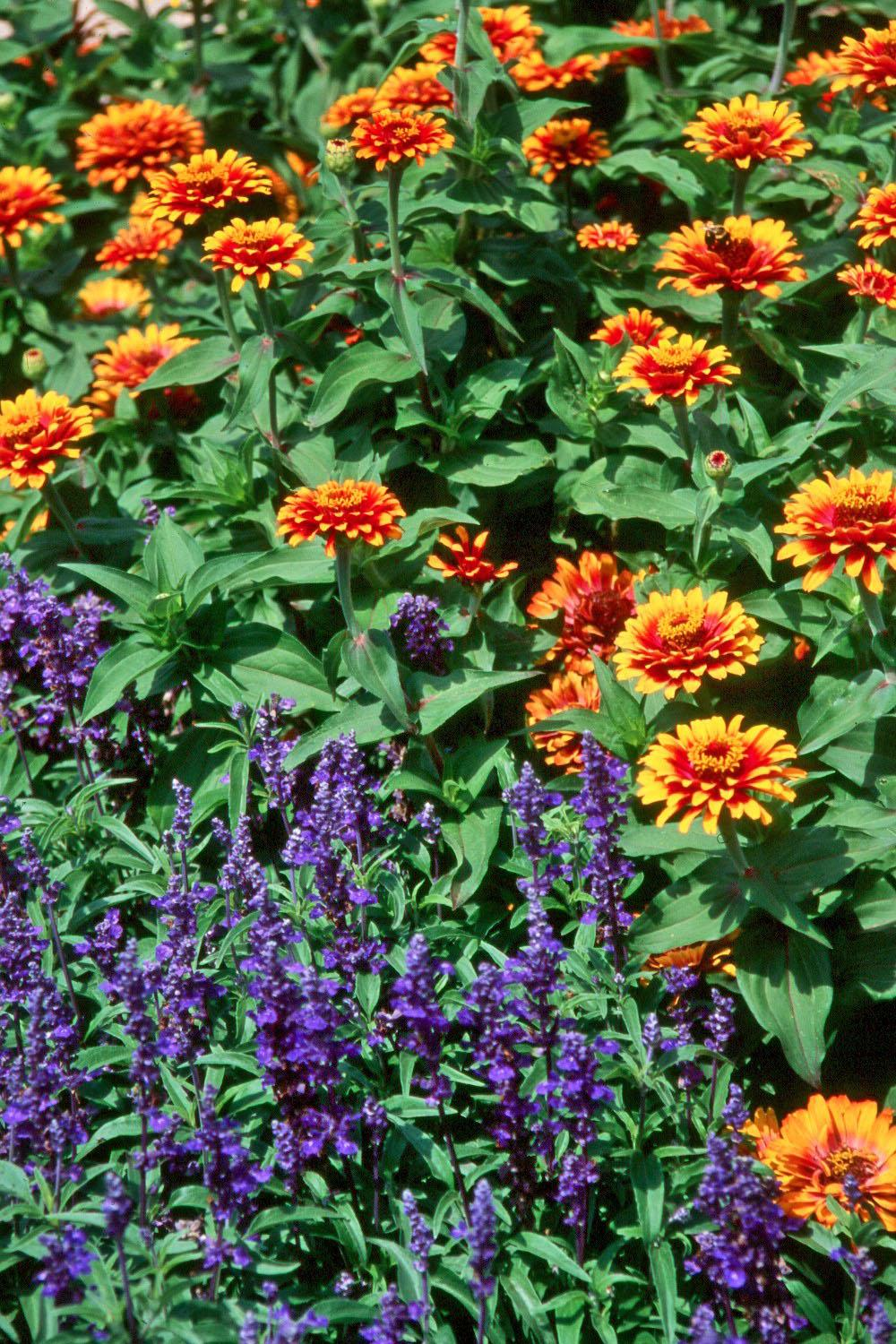 Zowie! Yellow Flame zinnia and Evolution salvia make a dynamic duo in this landscape. Both make great cut flowers for the vase and can be dried for an everlasting bouquet. Unlike any other zinnia, each Zowie bloom flames with a scarlet-rose center and yellow petal edges. Evolution provides a slightly richer color that Victoria Blue salvia.