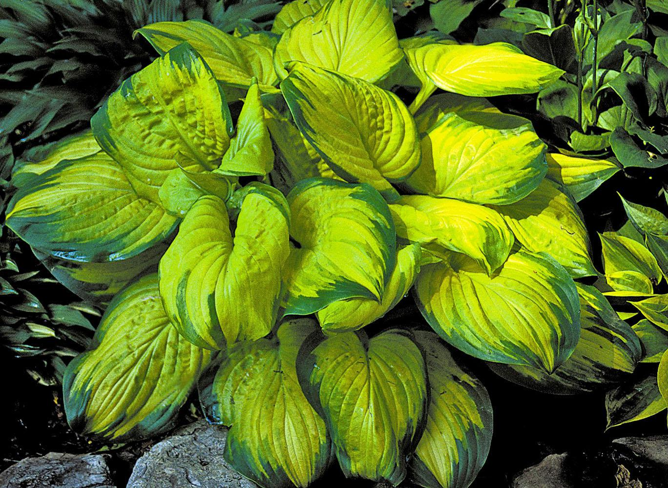 """Stained Glass has brilliant shiny golden foliage surrounded by a 2-inch wide, dark-green margin. The American Hosta Growers Association has chosen Stained Glass as the 2006 """"Hosta of the Year."""""""