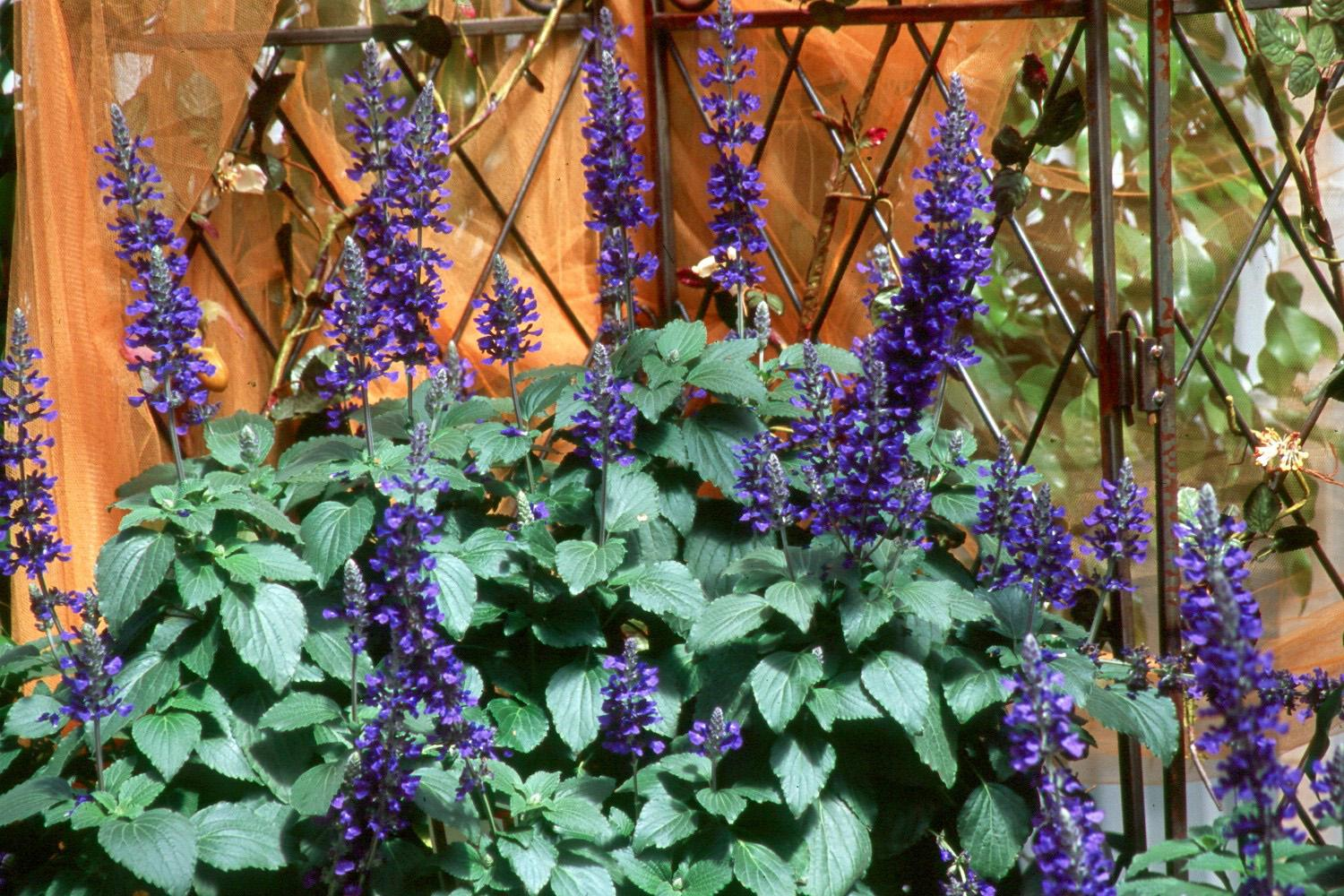 Mystic Spires Blue is the first dwarf or compact selection of the well-loved Indigo Spires. It will work well with perennials like purple coneflowers and summer phlox, or combined with yellows like melampodium, black-eyed Susans and New Gold lantana.