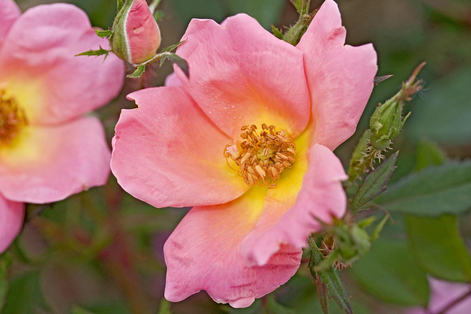 Rainbow Knock Out is a compact landscape shrub rose that produces abundant single-form flowers throughout the growing season. The delicate, five-petaled flowers are a deep coral-pink color with a yellow center finishing nicely to light coral.