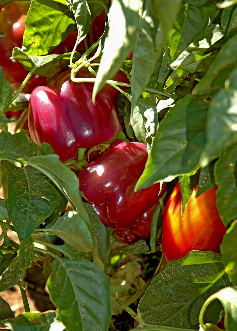 Tequila sweet bell peppers start off green, then change to yellow, orange, deep dark purple and eventually become a tasty sweet red pepper. Suitable for harvest in any color, these Mississippi Medallion award-winning peppers add a colorful zest to salads.