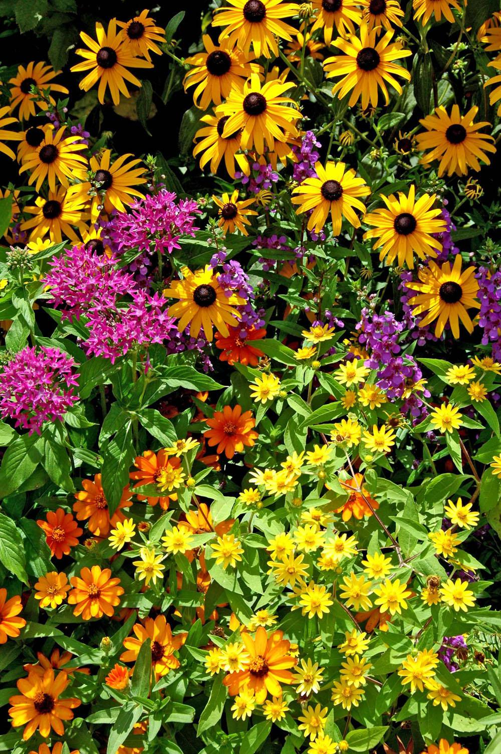 Yellows and golds from the melampodium and Goldsturm rudbeckia brighten this garden that also includes lavender pink pentas, angelonia and Profusion orange zinnia.