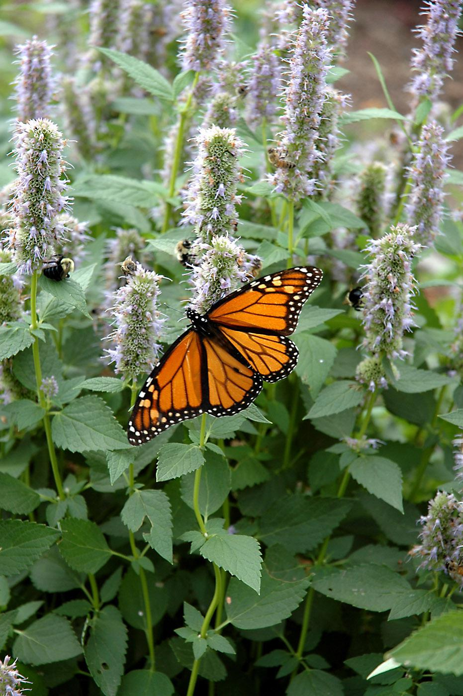 An orange Monarch butterfly feeding on the light blue-lavender flowers of the Blue Fortune agastache give this garden a complementary color scheme in motion.