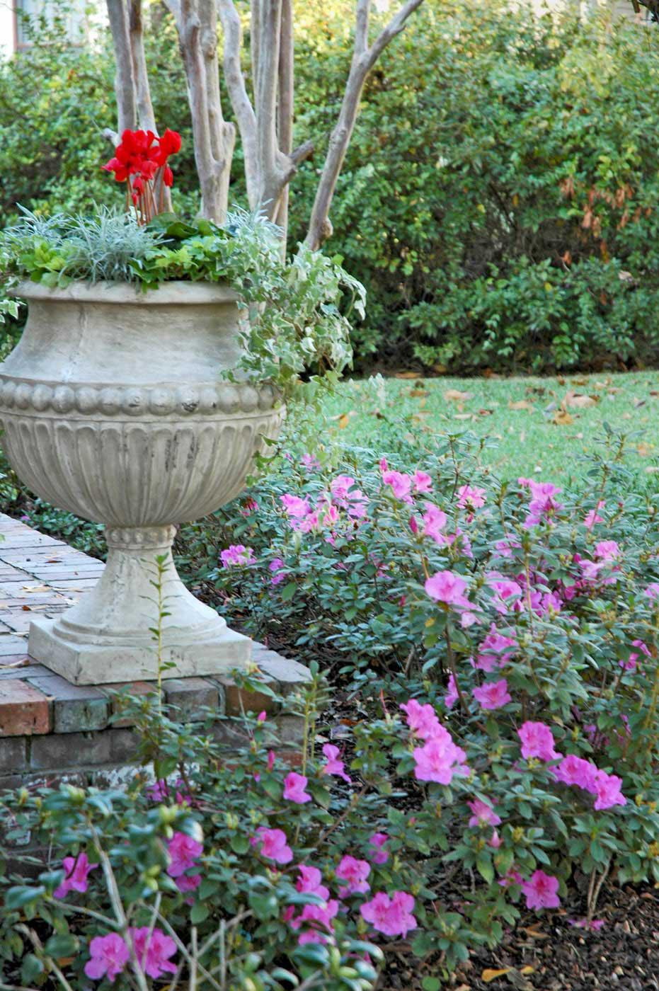 Encore azaleas will provide spring-like blooms even as the Christmas holidays approach.