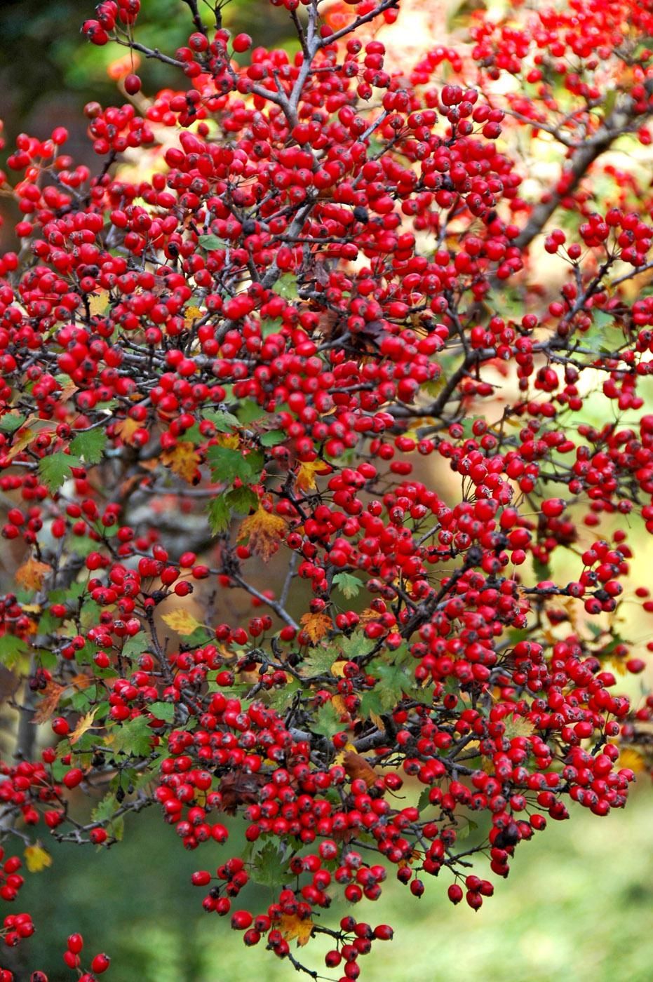 The red berries on a parsley-leaved hawthorn tree show from a great distance as the sun shows off their brilliant color.