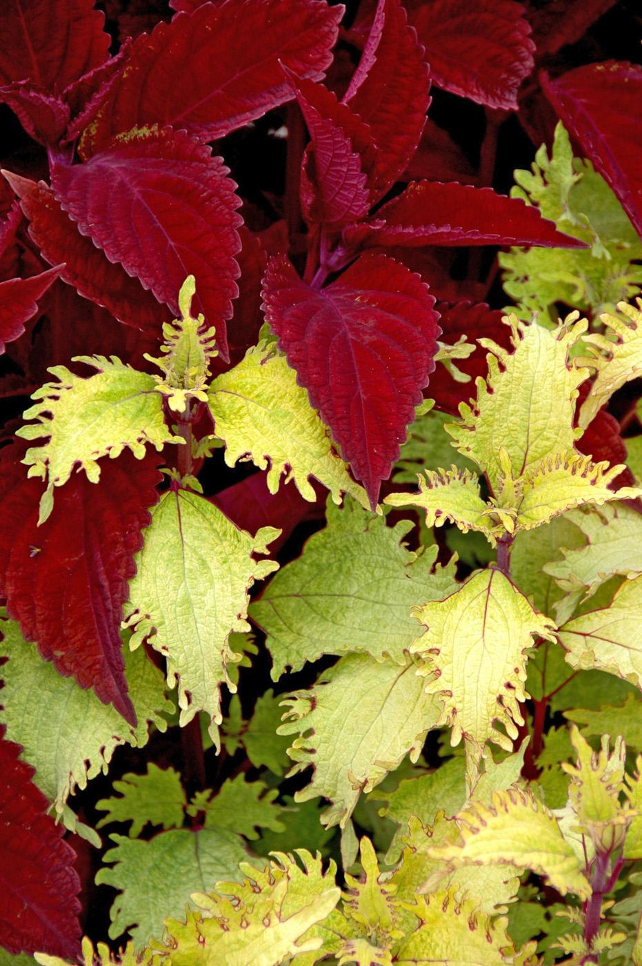 Big Red Judy, pictured here with Rose Stem Lace, is a large coleus with leaves that are a rich, vibrant red. The stems of Rose Stem Lace are this same color, making the two plants partner well in containers and landscapes.