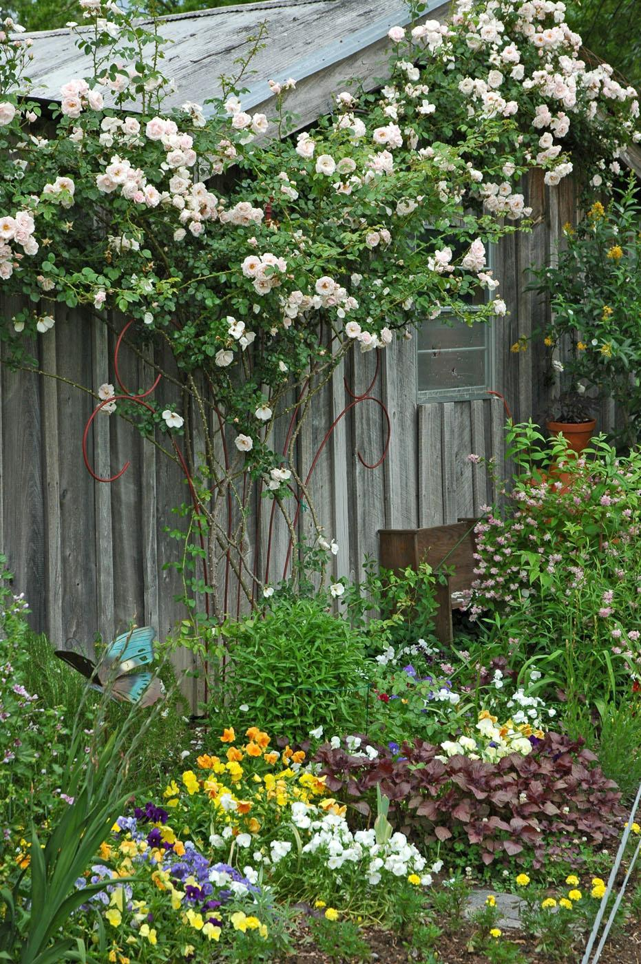 Climbing plants add a vertical dimension to the landscape. A New Dawn climbing rose was trained to grow up this cottage-style garden shed.