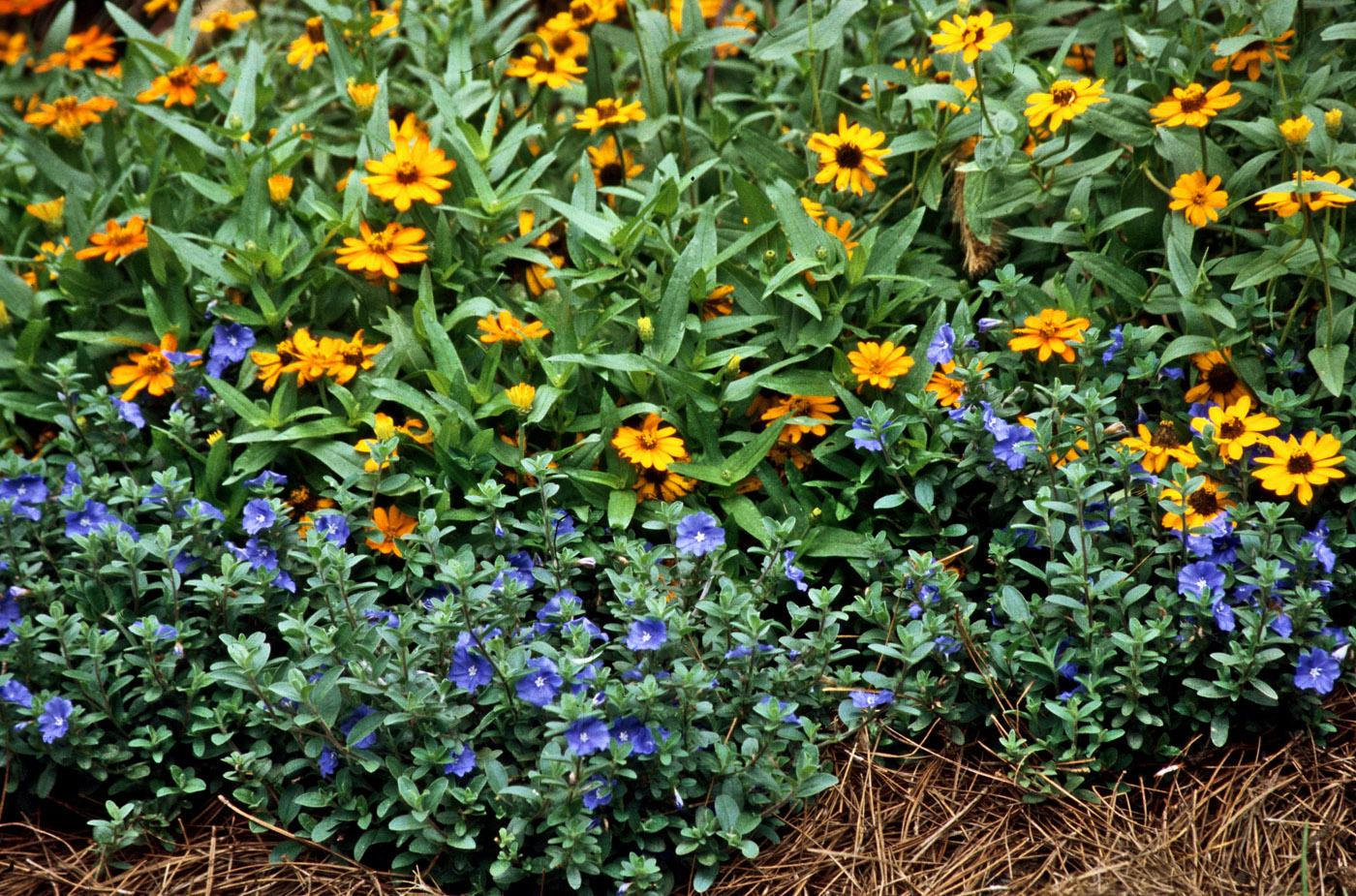 Blue Daze, a selection of Evolvulus glomeratus, can provide blue color throughout the hottest summer until the first frost. They work well planted toward the front of the border in this garden and used with other tough-as-nails flowers like the Profusion Fire zinnia. (Photo by Norman Winter)